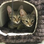 Adopt a cat during July for free exam at A Cat Clinic, Germantown, MD