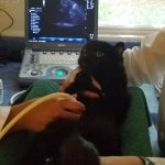 Feline abdominal ultrasound is a safe, useful tool for diagnosing illness