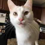 Pain-free Tater after dental: Periodontal disease in cats