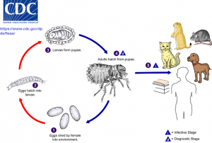 Cat Fleas life cycle from A Cat Clinic, Germantown, MD