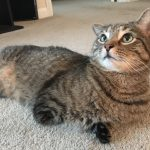 Horner's syndrome in cats can result from ear infection   A Cat Clinic, Germantown, MD