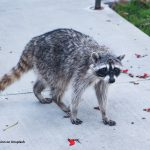 Rabies in cats is potentially fatal